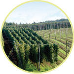 A hop farm in the Hopshires